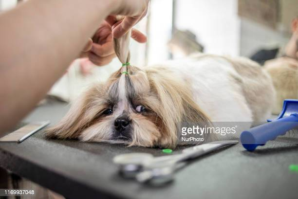 Dog grooming session at the Barber Pet grooming salon in Kyiv Ukraine on September 19 2019