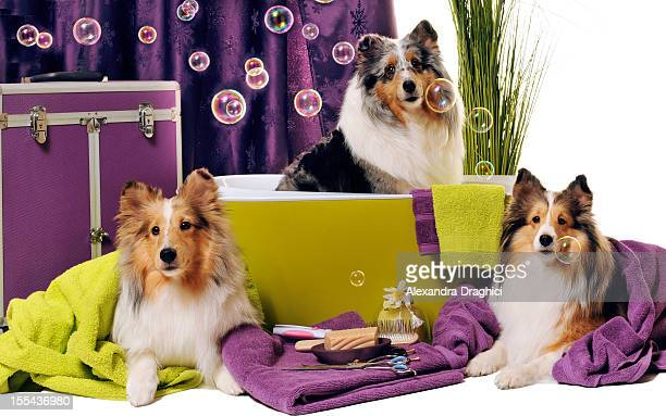 dog grooming session - pet grooming salon stock pictures, royalty-free photos & images