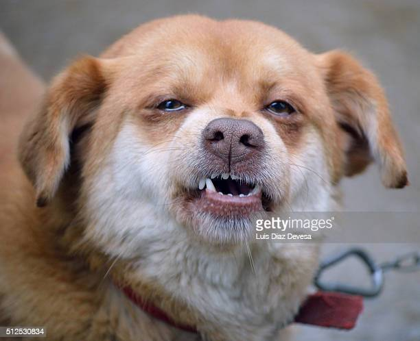 dog growling - chinook dog stock photos and pictures