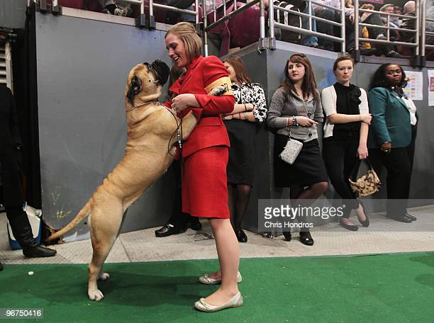 Dog handler Kellye Weymouth of St John Massachusetts plays with High Points Tailor Made a Bull Mastiff just before competition at the Westminster...
