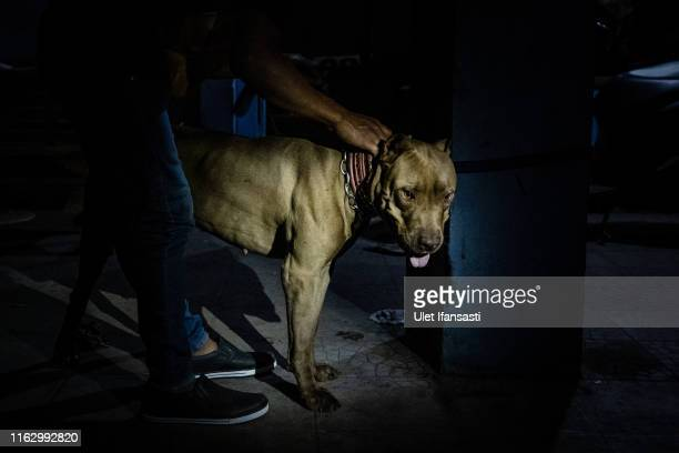 A dog handler Soni Safari holds a dog after getting a vitamin injection on August 15 2019 in Tasikmalaya West Java province Indonesia In the remote...