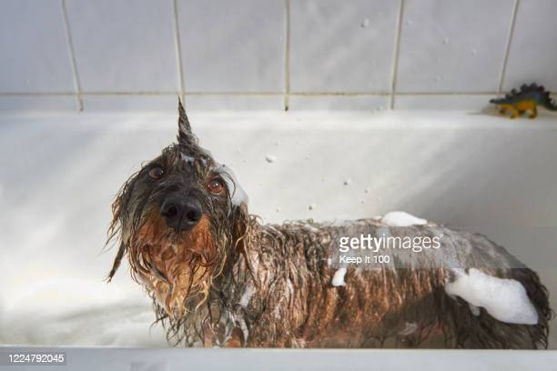 dog having a bath - funny animals stock pictures, royalty-free photos & images