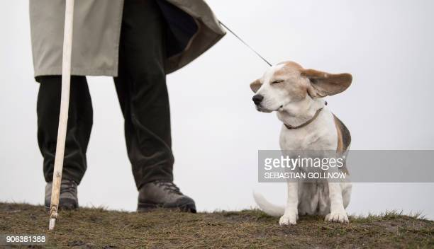 Dog Heidi has her ears fluttering in the wind as she is walked by her master Eberhard on January 18 2018 in Reutlingen southern Germany as many parts...