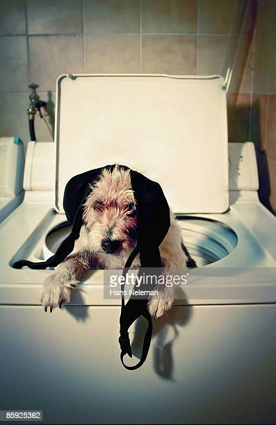 dog helping out with the wash - beha stockfoto's en -beelden