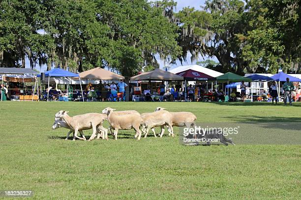 CONTENT] Dog herding sheep demonstration Highland games celebrate Scottish and Celtic culture and heritage The Highland Games in Charleston are...