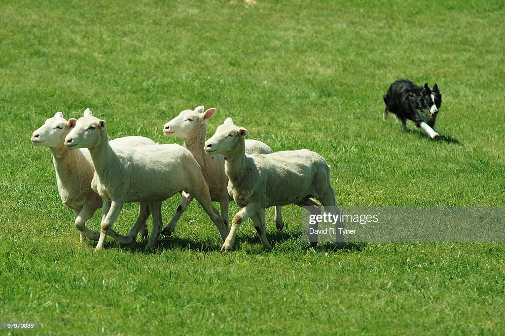 A dog herding sheep : Stock Photo