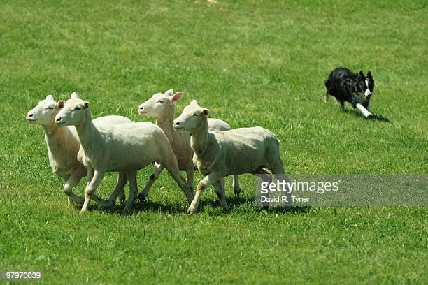 A dog herding sheep
