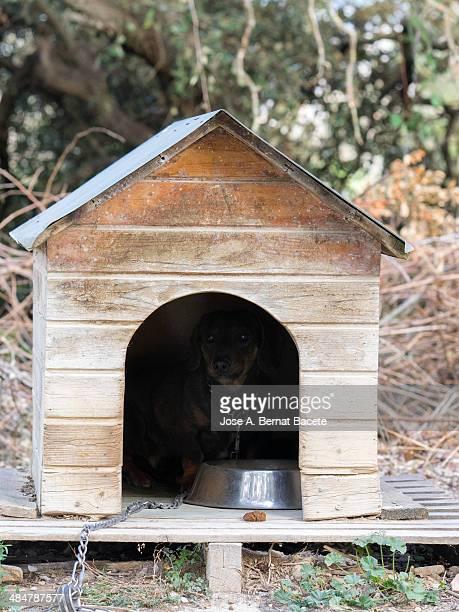 Dog hidden guardian of his wooden hut