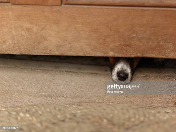 Dog hiding under wooden cabinet