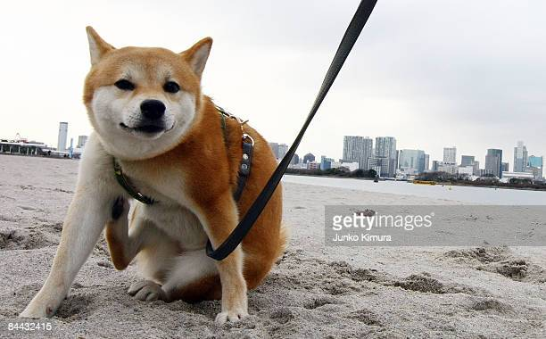 A dog hired from Puppy The World is walked along the beach on January 24 2009 in Tokyo Japan Rentadog is becoming increasingly popular amongst people...
