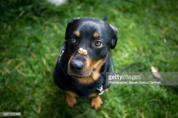 dog holding a treat on her nose - obedience training stock pictures, royalty-free photos & images