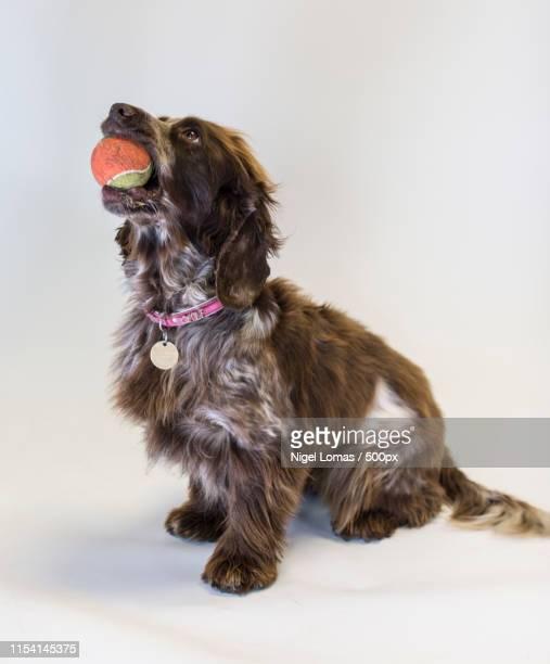 dog holding ball in mouth - ball stock pictures, royalty-free photos & images