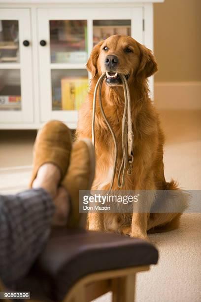 dog holding leash in mouth - boca animal - fotografias e filmes do acervo