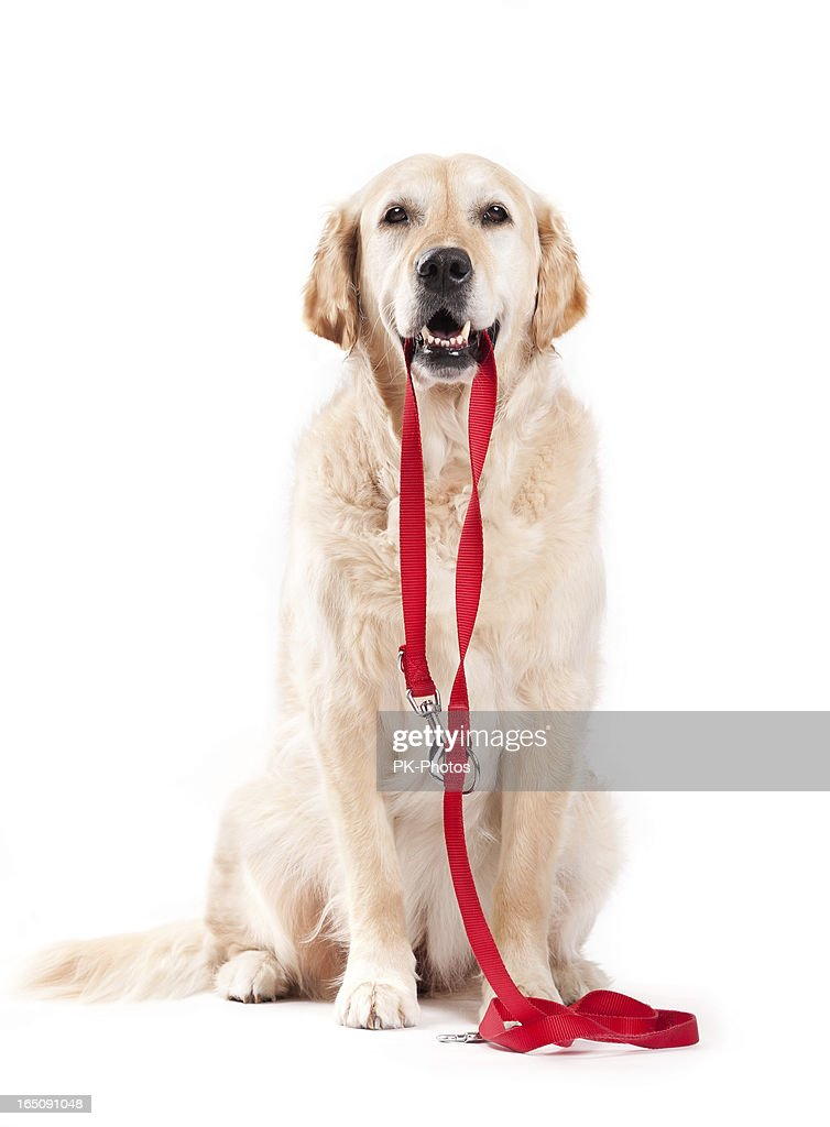 Dog holding leash : Stock Photo