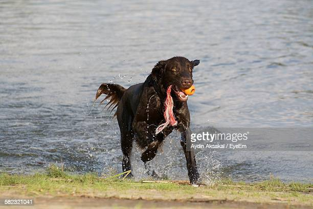 Dog Holding Toy In Mouth Running At Sea Shore
