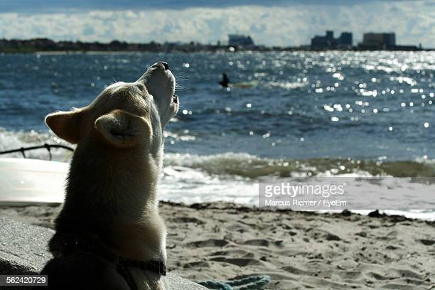 dog howling on beach - call of the wild stock pictures, royalty-free photos & images