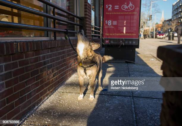 A dog howls outside a food store waiting for its owner January 9 2018 in Washington DC