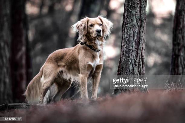 dog hunting - czech hunters stock pictures, royalty-free photos & images