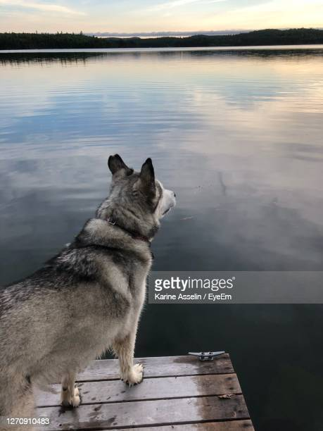 dog husky looking at lake - karine asselin stock pictures, royalty-free photos & images