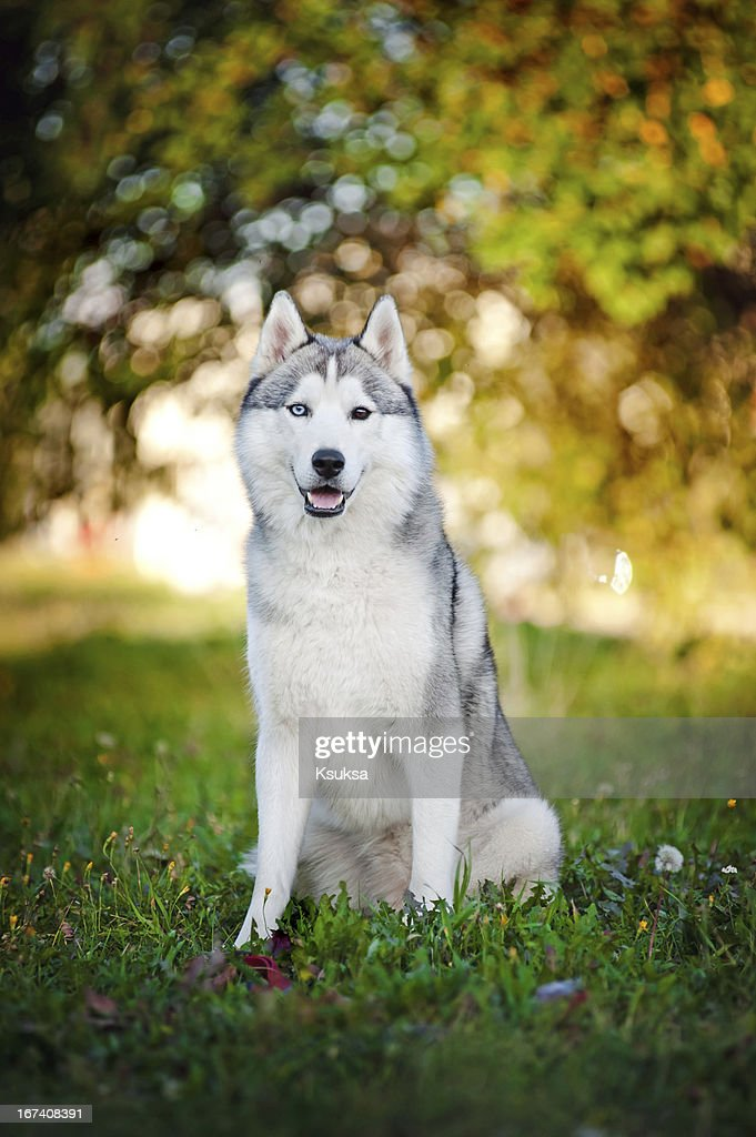 dog husky sits and looks at the camera : Stock Photo