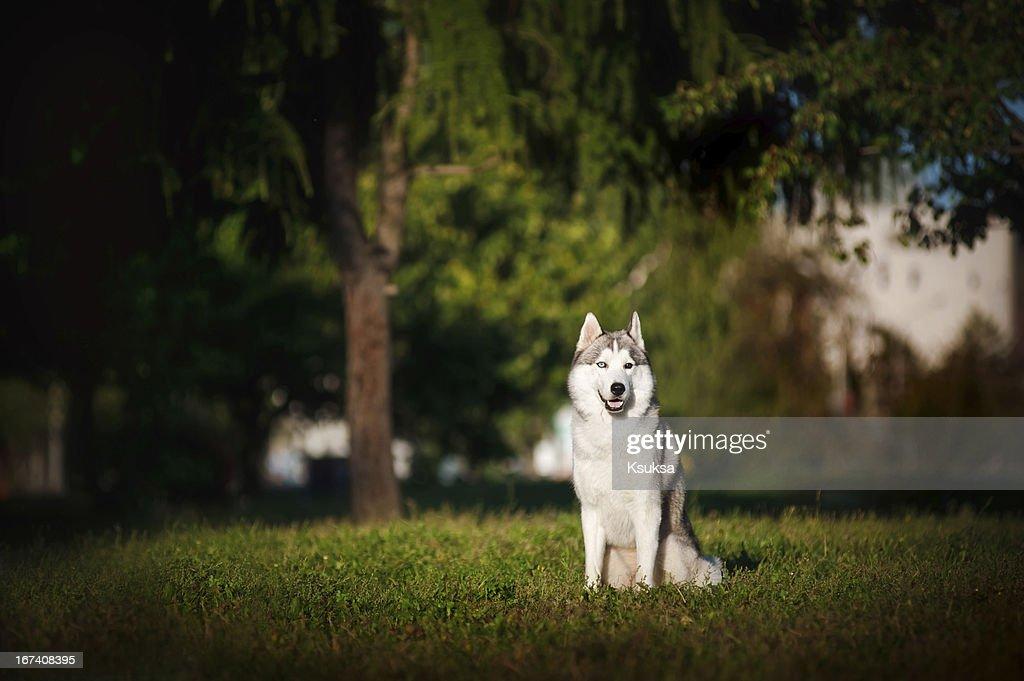 Cane husky si trova sull'erba : Foto stock