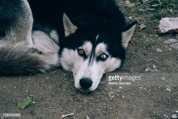 dog husky with different eyes - husky dog stock pictures, royalty-free photos & images