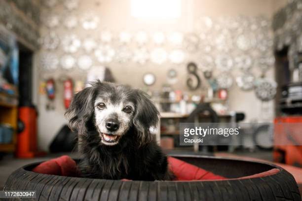 dog in a bed made with tire - mixed breed dog stock pictures, royalty-free photos & images