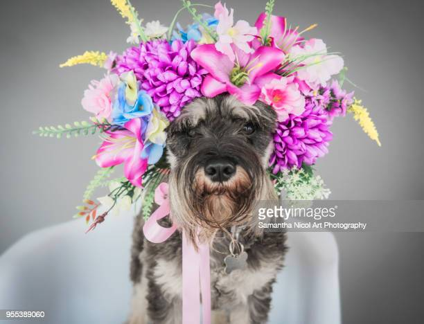 dog in a bonnet - multi colored hat stock pictures, royalty-free photos & images