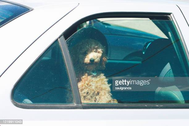 a dog in a car from outside - hairy bum stock pictures, royalty-free photos & images