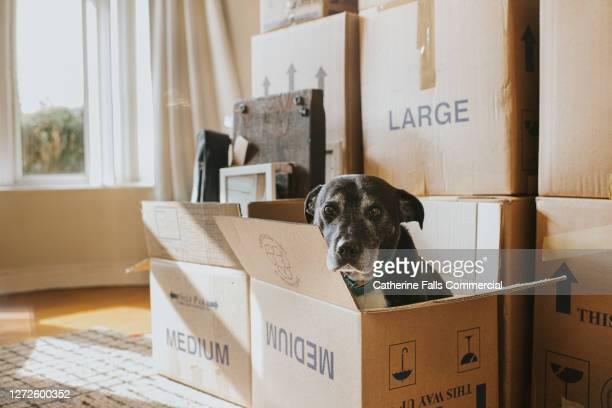 a dog in a cardboard box on moving day - finance and economy stock pictures, royalty-free photos & images