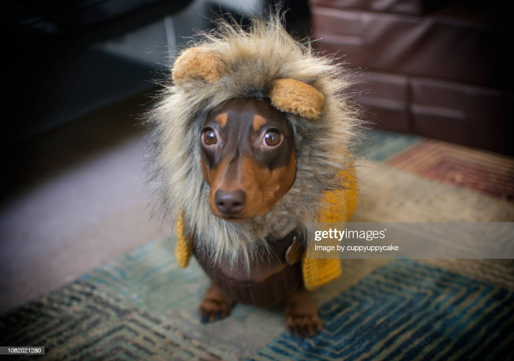 Dog in a Lion Costume : Stock Photo