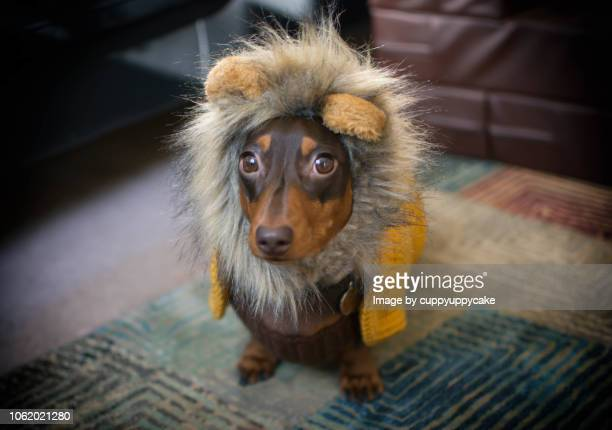 dog in a lion costume - lion feline stock pictures, royalty-free photos & images