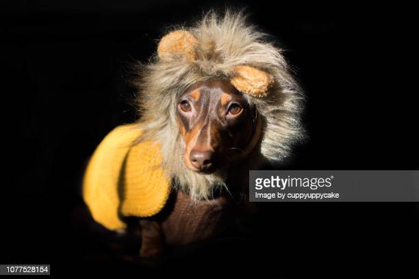 dog in a lion costume - dachshund christmas stock pictures, royalty-free photos & images