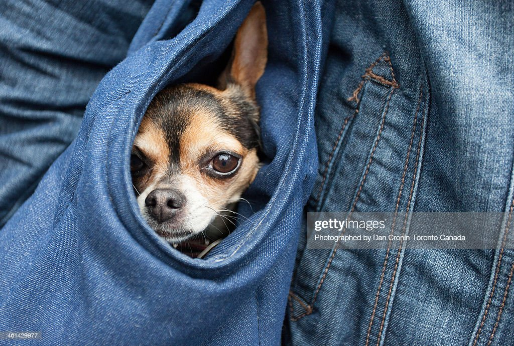 Dog in a purse : Stock Photo