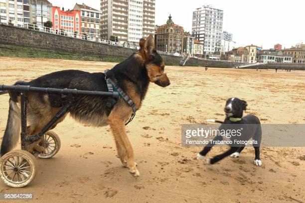 dog in a wheelchair - praia stock pictures, royalty-free photos & images