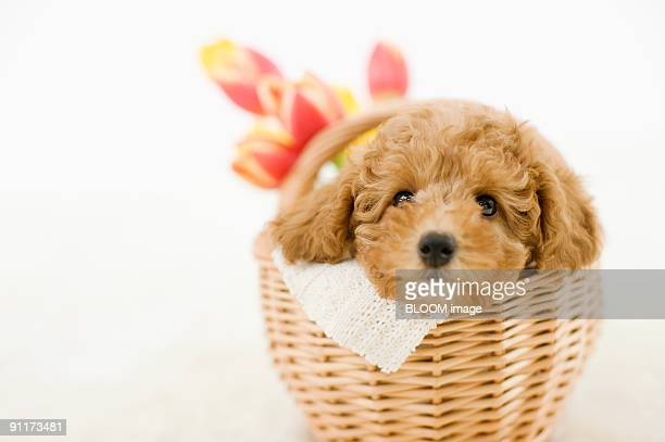 dog in basket - caniche toy photos et images de collection