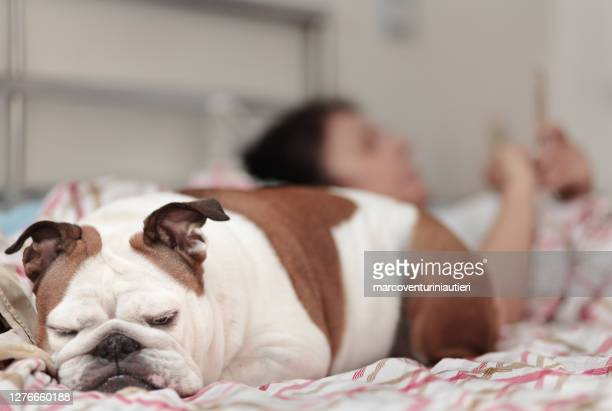 dog in bed with owner who uses smartphone - marcoventuriniautieri stock pictures, royalty-free photos & images