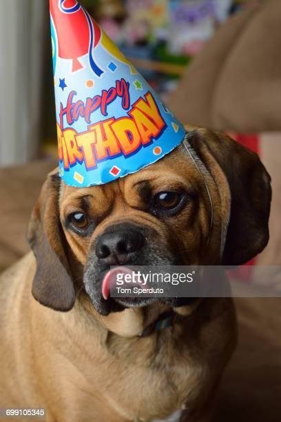 dog in birthday hat - パグル犬 ストックフォトと画像