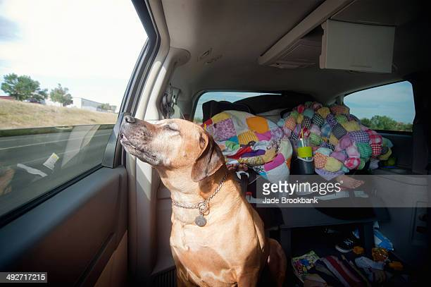Dog in car back seat enjoying journey