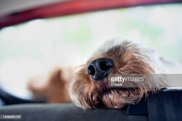 dog in car - st. albans stock pictures, royalty-free photos & images