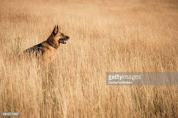 Hund im corn field