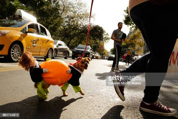 Dog in costume arrives to the 27th Annual Tompkins Square Halloween Dog Parade in Tompkins Square Park on October 21, 2017 in New York City. More...