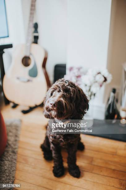 dog in domestic environment - collar stock photos and pictures