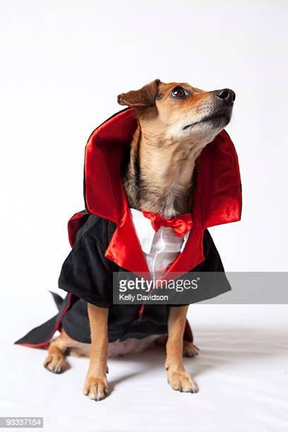 Dog in Dracula costume on white background
