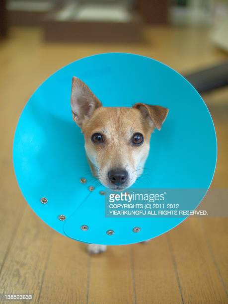 dog in elizabethan collar - protective collar stock pictures, royalty-free photos & images