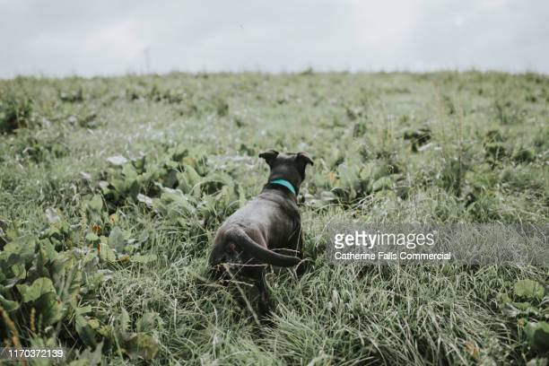 dog in field - black bum stock pictures, royalty-free photos & images