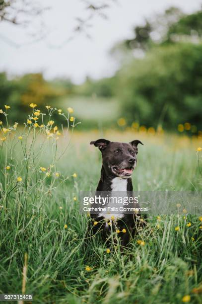 dog in field with buttercups - staffordshire bull terrier stock pictures, royalty-free photos & images