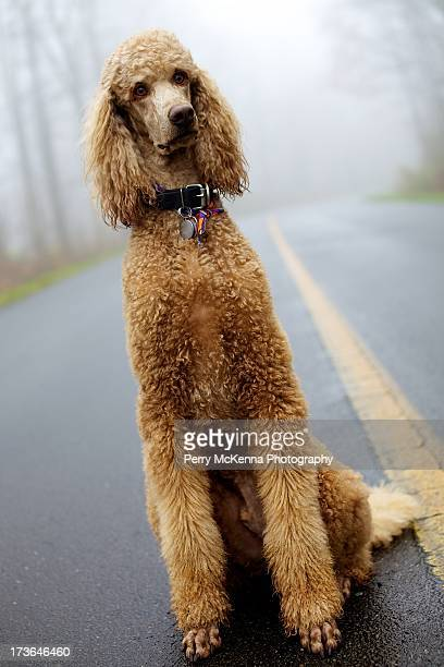 dog in fog - standard poodle stock photos and pictures