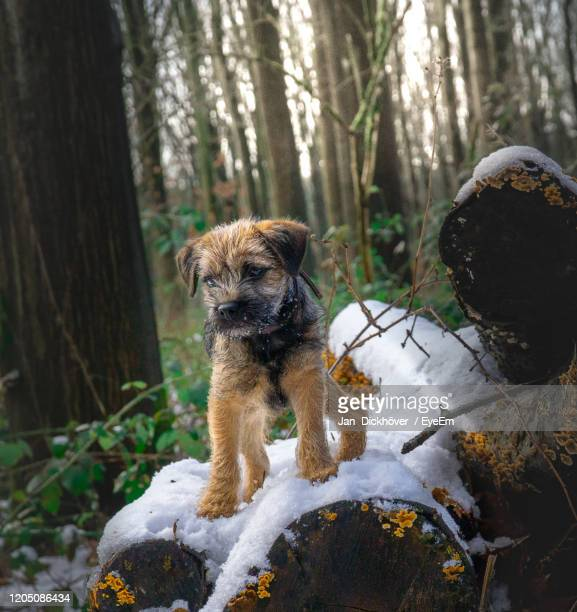 dog in forest - border terrier stock pictures, royalty-free photos & images