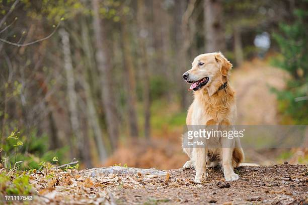 dog in forest - labrador retriever stock pictures, royalty-free photos & images